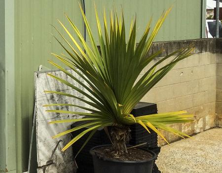 Oxford Park Nursery Palm